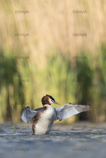 like a conductor... Great Crested Grebe *Podiceps cristatus*
