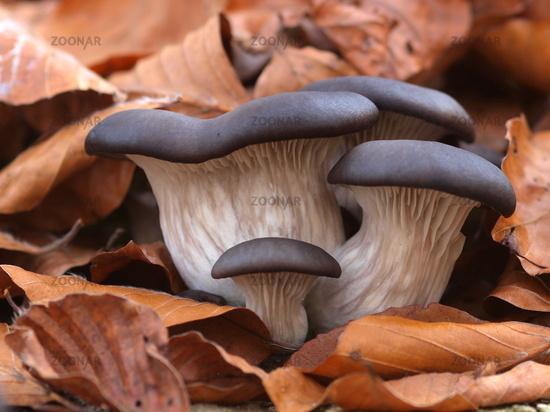 Grey oyster mushroom - Pleurotus ostreatus