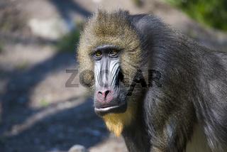 Mandrill,monkey,Affe,Mandrillus sphinx,