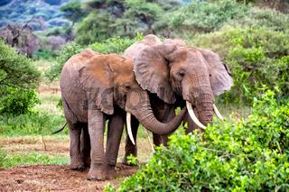 elephants in tarangire park tanzania
