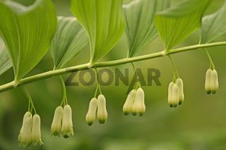 Salomonsiegel (Polygonatum odoratum)