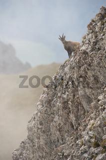 über den Rand geschaut... Alpensteinbock *Capra ibex*