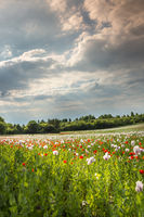 Red and white poppies against cloudy sky
