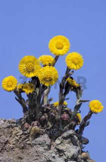 Huflattich gilt als bedeutsame Heilpflanze - (Breitlattich - Eselslattich) / Coltsfoot is widespread across Europe - (Tash Plant - Butterbur) / Tussilago farfara