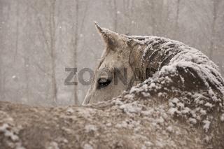 Araberpferd im Schnee