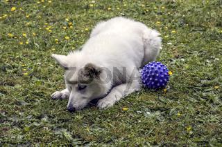 Spielende weisse Schäferhund - Welpin