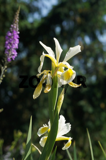Iris ochroleuca, Syn. orientalis
