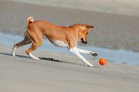 Basenji, African Bush Dog or Congo Dog