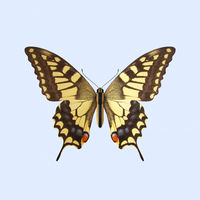 Swallowtail Butterfly - Papilio Machaon