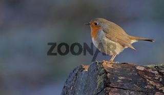 Rotkehlchen (Erithacus rubecula)