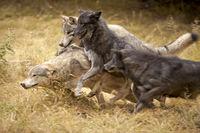 Grey Wolf Pack, British Columbia