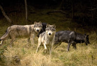 Curious Wolves in field, British Columbia