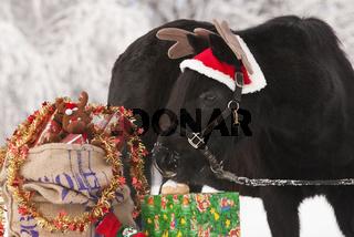 Welsh Pony mit Weihnachtsgeschenken