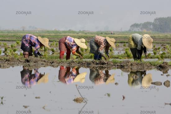 ASIA MYANMAR NYAUNGSHWE RICE FIELD