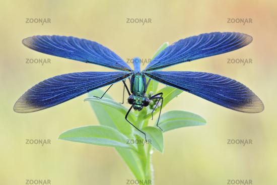 Beautiful Demoiselle *Calopteryx virgo*
