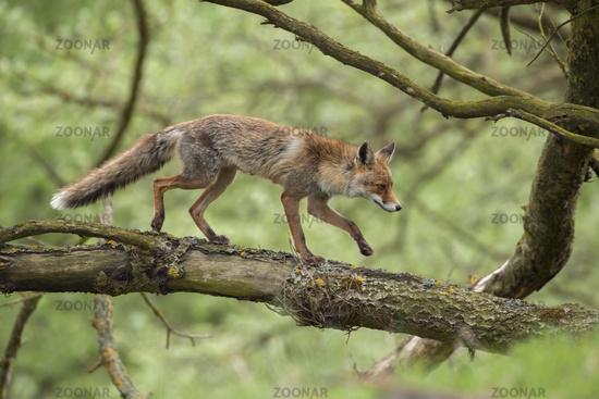 balance act... Red fox *Vulpes vulpes*