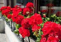 Bunches of vibrant red Pelargonium flowering