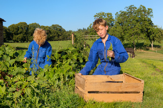 Farm Boys harvesting in vegetable garden
