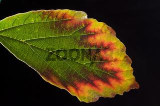 Blatt der Hamamelis ### leaf of Hamamelis