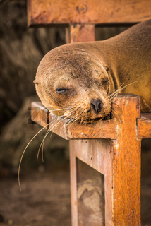 Galapagos sea lion sleeping on wooden bench