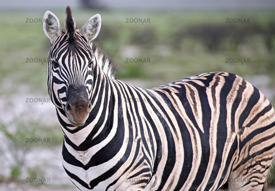 Plains Zebra, Equus quagga, Namibia