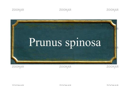 shield sloe, blackthorn, black thorn, prunus spinosa, local Dud