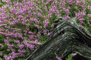 Besenheide die Blueten werden haeufig von Insekten besucht - (Heidekraut - Erika) / Common Heather the flowers emerge in late summer often in August - (Ling - Heather) / Calluna vulgaris