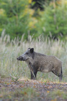 Wildboar, Germany