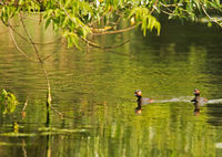 Black-necked grebe (Podiceps nigricollis) on a pond in the morning