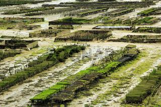 Austernzucht in Frankreich