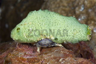 Kleine Schwammkrabbe, Indonesien