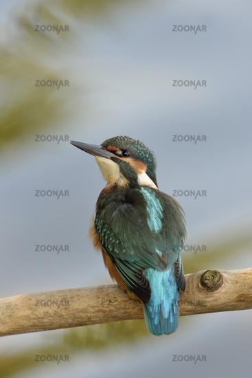 blue diamond...  Common Kingfisher *Alcedo atthis*