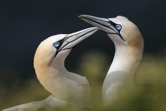 Tenderness... Northern Gannets *Morus bassanus*