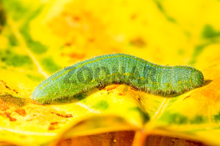 Green caterpillar of a butterfly