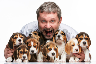 The man and big group of a beagle puppies