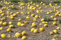 Cultivated squashes, Pumpkin Field, Gozo, Malta