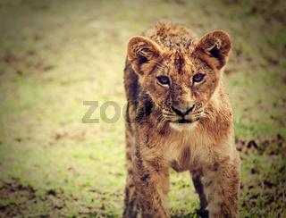 A small lion cub portrait. Tanzania, Africa