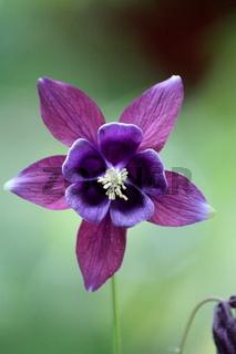 violette Blüte, Akeleiblüte