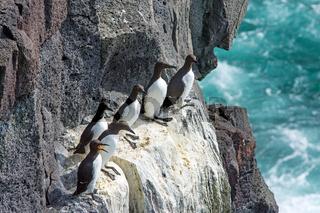 Seevögel auf einer Klippe in Island