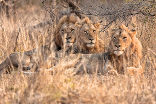 three lion's brother resting at etosha