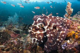 Tag-Oktopus, Komodo Nationalpark