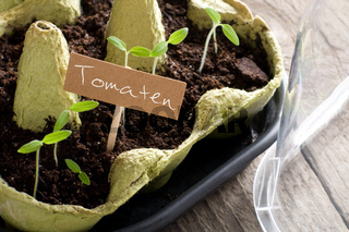 Tomato seedlings growing in mini-greenhouse with cardboard
