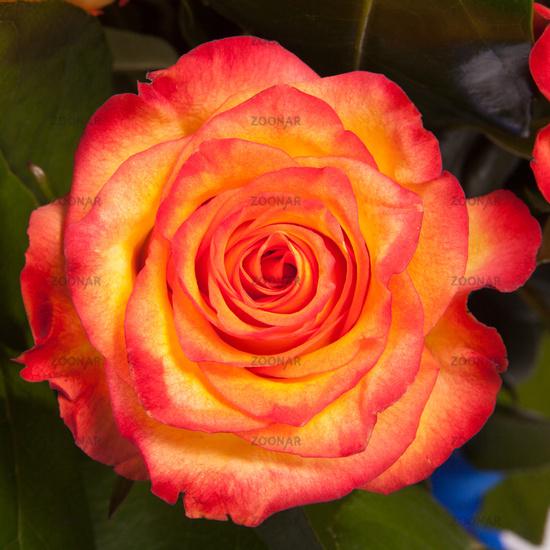 Beautiful orange rose closeup