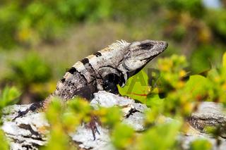 Gray-Brown Iguana