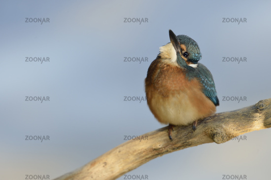 just cute...  Common Kingfisher *Alcedo atthis*