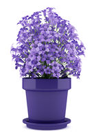 purple flowers in pot isolated on white background