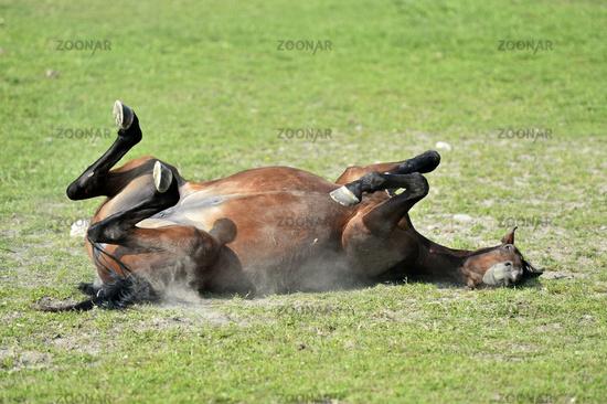Pferd wälzt sich auf einer Weide / Horse rolling on a pasture