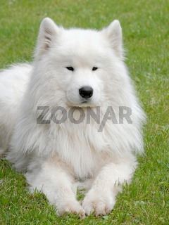 Typical Russian white Samoyed dog