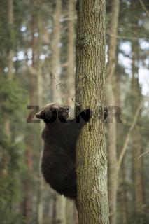 ein wenig unsicher... Europäischer Braunbär *Ursus arctos*
