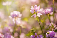 Clover or Trifolium flowers blooming